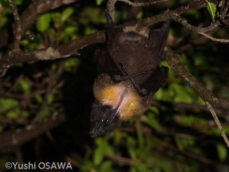 日本 クビワオオコウモリ